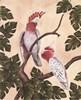 White Mitchell Cockatoos