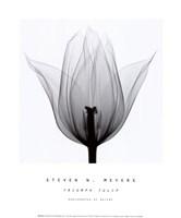Triumph Tulip Framed Print