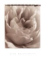 Delicate Rose Fine Art Print