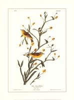 Yellow Red-Poll Warbler Fine Art Print