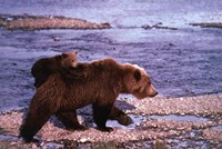 Brown Bear Carrying Cub, Alaska Fine Art Print