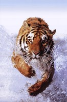 Tiger Running Through Water Wall Poster