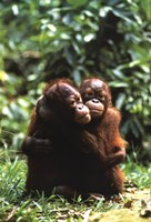 Orangutans Fine Art Print