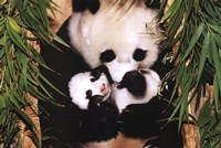 Panda Mother And Baby Framed Print