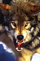 Grey Wolf - Close-Up Wall Poster