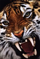 Bengal Tiger Close-Up Wall Poster