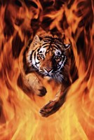Bengal Tiger Jumping Flames Framed Print
