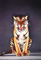 Tiger - gray Wall Poster