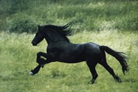 Black Horse Running Fine Art Print