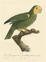 Parrot, PL 98 Fine Art Print