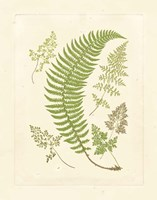 Ferns with Platemark IV Framed Print