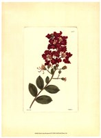 Red Curtis Botanical II Framed Print