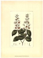 White Curtis Botanical II Framed Print