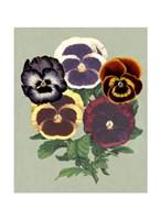 Tricolor Pansies II Fine Art Print