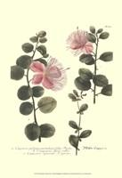 Weinmann, Pl. 303 Fine Art Print