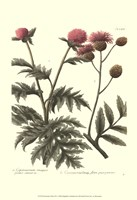 Weinmann, Pl. 347 Fine Art Print