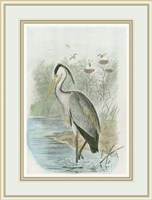 Common Heron Fine Art Print