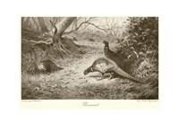 Pheasant Fine Art Print