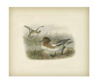 Redcrested Pochard Fine Art Print