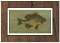 Common Sunfish Fine Art Print