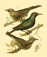 Domestic Bird Family IV Fine Art Print