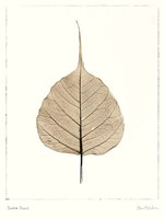 India Ficus Fine Art Print