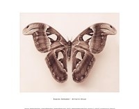 Attacus Atlas Fine Art Print