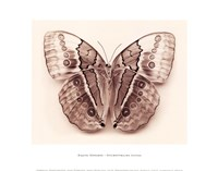 Stichopthalma Louisa Fine Art Print
