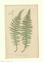 Nature Printed Ferns Fine Art Print