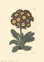 Auriculas Fine Art Print