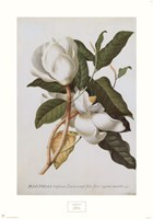 Magnolia Altissima Fine Art Print