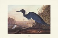 Little Blue Heron Framed Print