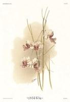 Vanda Hookeriana Fine Art Print