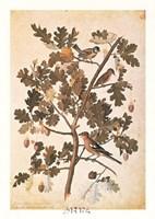 Quercus Robur E Parus Coerculeis Framed Print