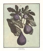 French Fruit Plate/Fig Framed Print