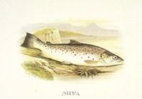 Great Lake Trout Fine Art Print