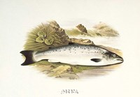 Grilse or Young Salmon Fine Art Print