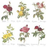 Roses (Set of Six) Fine Art Print