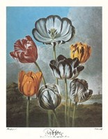 A Group of Tulips Fine Art Print