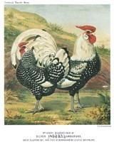 Silver Spangled Hamburghs Framed Print