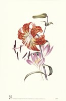 Flowers (Untitled) Tiger Lily Fine Art Print