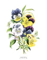 Flowers (Untitled) - Bouquet of Pansies Fine Art Print