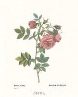 Roses VI Fine Art Print