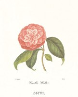 Camellia Wadu Fine Art Print