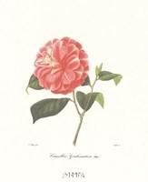 Camellia Goubernativa Fine Art Print