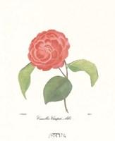 Camellia Campsii Alba Fine Art Print