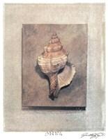 Seashell Study III Framed Print