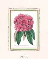 Rhododendron No. 3 Framed Print