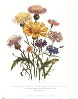 Centaurea Crocadylium Framed Print