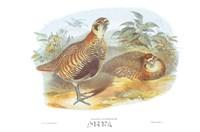 Perdix Hodgsoniae Framed Print